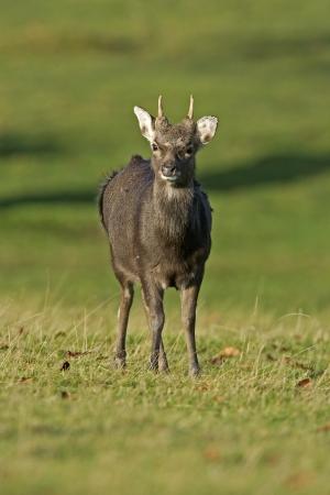 cervus: Sika deer, Cervus nippon, single male on grass, Kent                Stock Photo