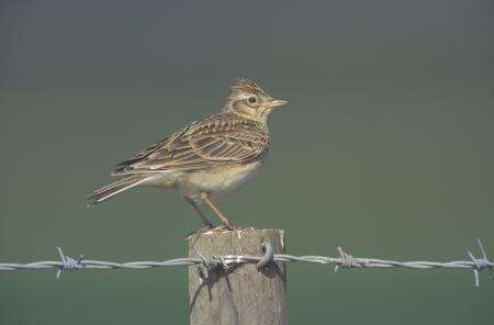 arvensis: Skylark, Alauda arvensis, single bird on post, Midlands, UK