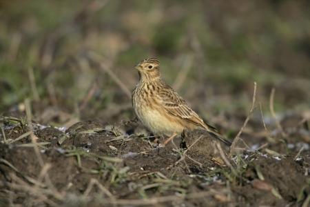 arvensis: Skylark, Alauda arvensis, single bird on ground, Midlands, UK Stock Photo