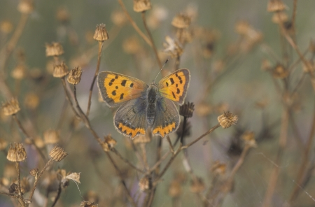 lycaena: Small copper butterfly, Lycaena phlaeas, single insect on perch