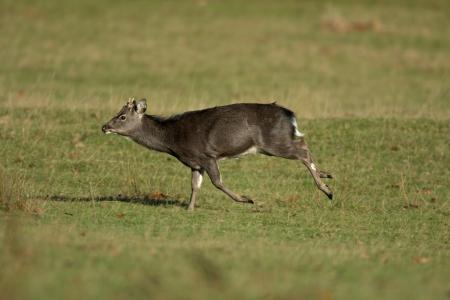 nippon: Sika deer, Cervus nippon, single male on grass, Kent                Stock Photo