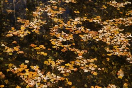 betula pendula: Silver birch, Betula pendula, leavesin autumn                Stock Photo