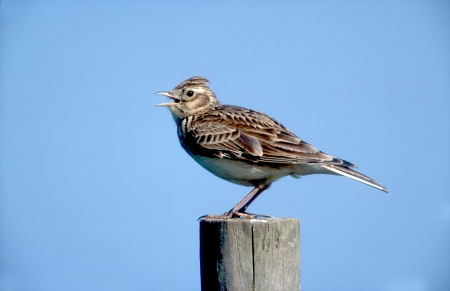 Skylark, Alauda arvensis, single bird on post, Midlands, UK