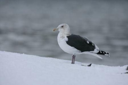 slaty: Slaty-backed gull, Larus schistisagus, single bird on snow, Japan Stock Photo
