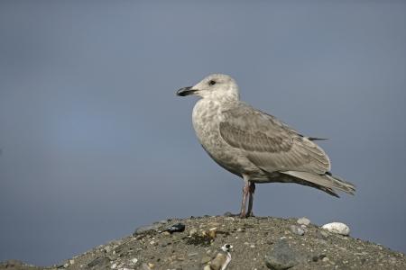 slaty: Slaty-backed gull, Larus schistisagus, single immature, bird on rock, Japan