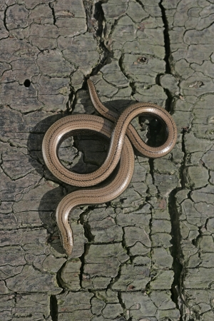 Slow worm, Anguis fragilis, single reptile in churchyard, Warwickshire photo