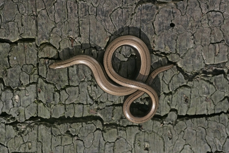 Slow worm, Anguis fragilis, single reptile in churchyard, Warwickshire Stock Photo - 24839382