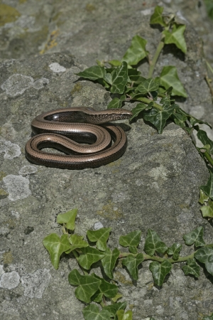 slow worm: Slow worm, Anguis fragilis, single reptile in churchyard, Warwickshire