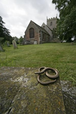 Slow worm, Anguis fragilis, single reptile in churchyard, Warwickshire photo