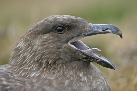 stercorarius: Great skua, Stercorarius skua, single bird head shot,  Falklands              Stock Photo