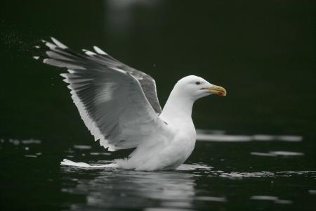 larus: Great black-backed gull, Larus marinus, single bird on water, Norway