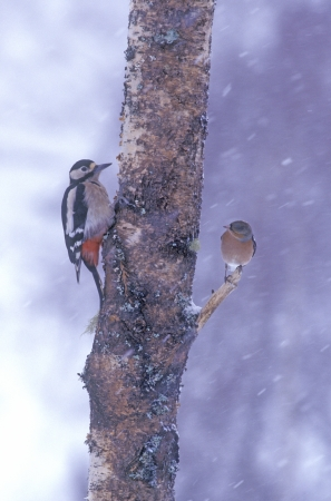 Great-spotted woodpecker, Dendrocopos major, single female on tree, Warwickshire photo