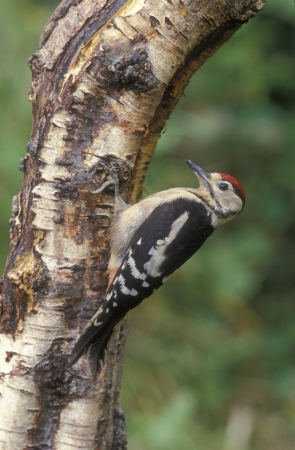 dendrocopos: Great-spotted woodpecker, Dendrocopos major, single juvenile on tree, Warwickshire Stock Photo