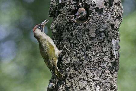 Green woodpecker, Picus viridis, single bird at nest, Staffordshire
