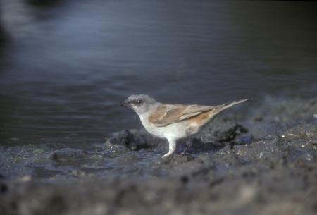passer by: Grey-headed sparrow,  Passer griseus, single bird by water, Tanzania