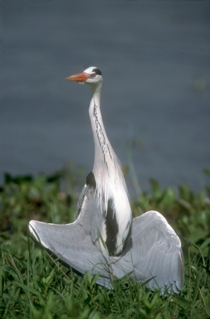 ardea cinerea: Grey heron, Ardea cinerea, single bird sun bathing,  Stock Photo