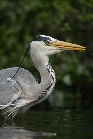 ardea cinerea: Grey heron, Ardea cinerea, single bird head shot, Herts