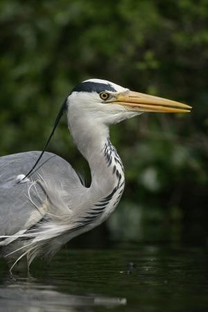 cinerea: Grey heron, Ardea cinerea, single bird head shot, Herts