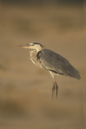ardea cinerea: Grey heron, Ardea cinerea, single bird in sand dunes, Oman           Stock Photo