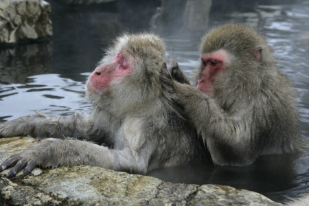 Snow monkey or Japanese macaque, Macaca fuscata, group mammals in water, Japan