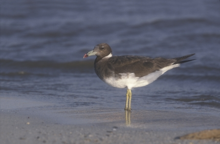 sooty: Sooty gull, Larus hemprichii, single bird by water, Oman Stock Photo