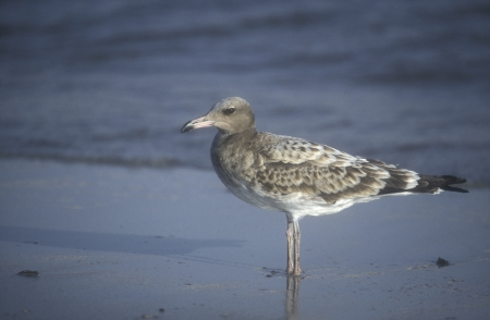 sooty: Sooty gull, Larus hemprichii, single juvenile bird by water, Oman
