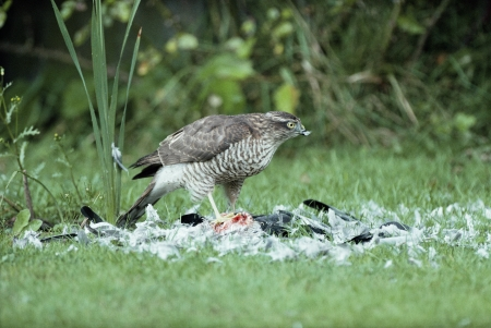 Sparrowhawk, Accipiter nisus, single bird with pigeon, UK       photo