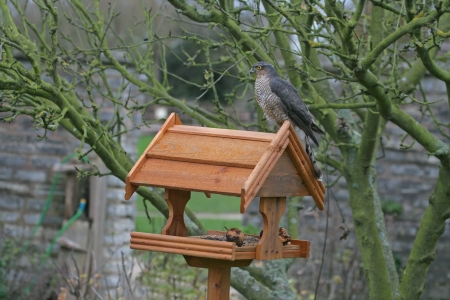 Sparrowhawk, Accipiter nisus, single female on bird table, UK       photo