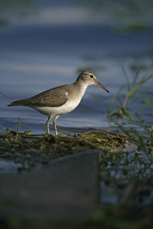 Spotted sandpiper, Actitis macularis, single bird by water, Belize photo
