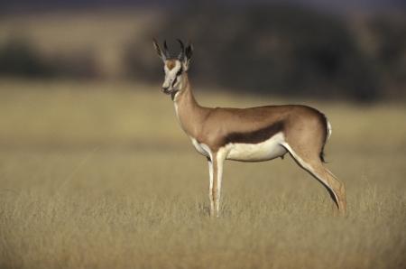 springbok: Springbuck or Springbok,  Antidorcas marsupialis, single mammal, Namibia