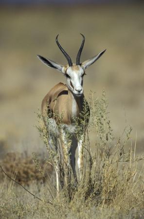 antidorcas: Springbuck or Springbok,  Antidorcas marsupialis, single mammal, Namibia