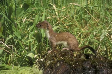 stoat: Stoat, Mustela erminea, single mammal, UK