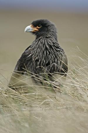 striated: Striated caracara, Phalcoboenus australis, single bird on ground, Falklands