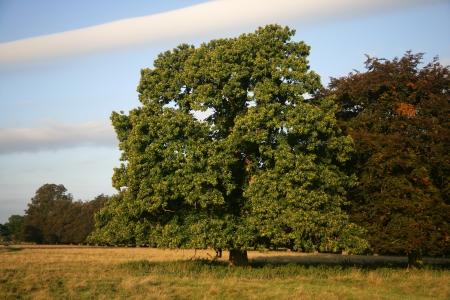 Sweet chestnut,  Castanea sativa,  tree in field               Archivio Fotografico