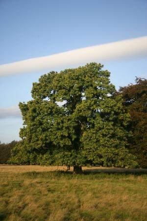 castanea sativa: Sweet chestnut,  Castanea sativa,  tree in field               Stock Photo