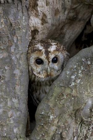 tawny: Tawny owl, Strix aluco, single bird in tree