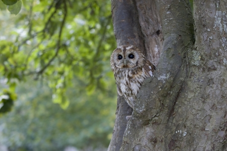 tawny owl: Tawny owl, Strix aluco, single bird in tree