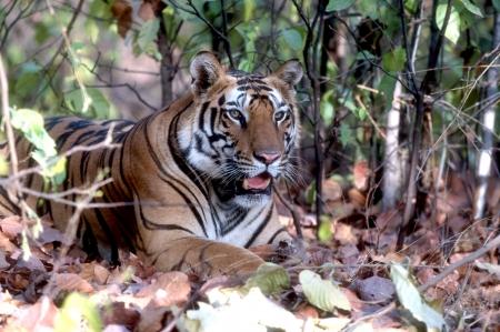 panthera tigris: Tiger Panthera Tigris  in India Stock Photo