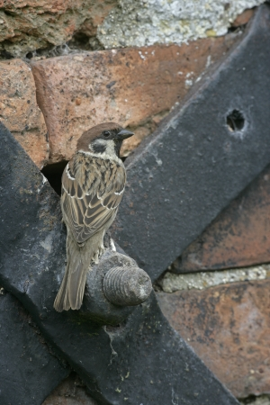 passer by: Tree sparrow, Passer montanus, single bird on building, Midlands, UK