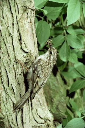 familiaris: Treecreeper, Certhia familiaris, single bird on tree, UK