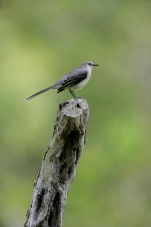 mockingbird: Tropical mockingbird, Mimus gilvus, single bird on branch, Belize