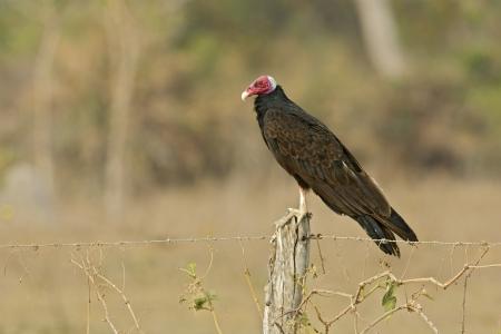 turkey vulture: Turkey vulture,  Cathartes aura, single bird on post, Brazil