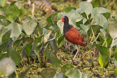jacana: Wattled jacana,  Jacana jacana, single bird by water, Brazil Stock Photo