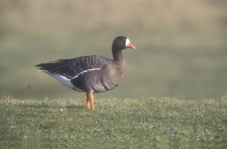 white fronted goose: White-fronted goose,  Anser albifrons, single bird on grass, Norfolk, UK Stock Photo