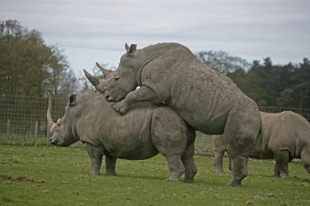 White rhino, Ceratotherium simum, group of mammals,  captive