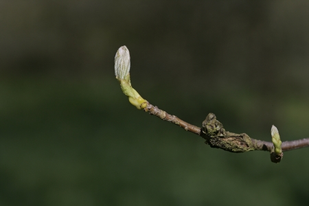Wild service tree, Sorbus torminalis, buds on a twig in spring photo