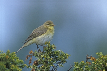 wildllife: Willow warbler, Phylloscopus trochilus, single bird on branch, Devon, UK      Stock Photo