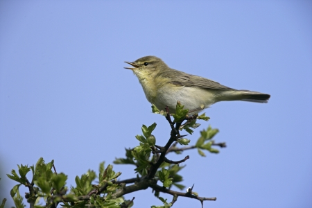 Willow warbler, Phylloscopus trochilus, single bird on branch, Devon, UK      Stock Photo