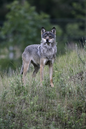 wold: Grey wolf, Canis lupus, single mammal