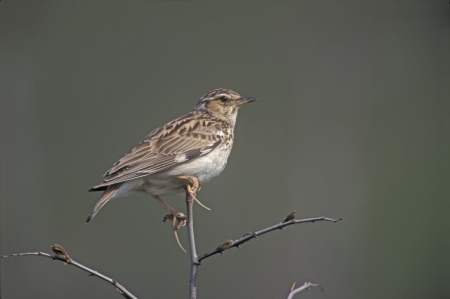 Wood lark, Lullula arborea, single bird on branch, Bulgaria